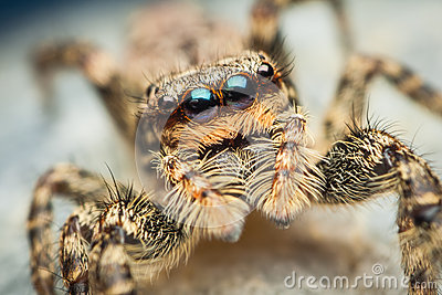 Marpissa muscosa female jumping spider