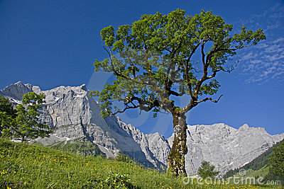 Marple tree in Austria