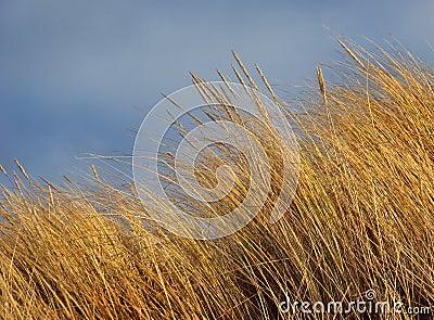 Marram Beach Grass