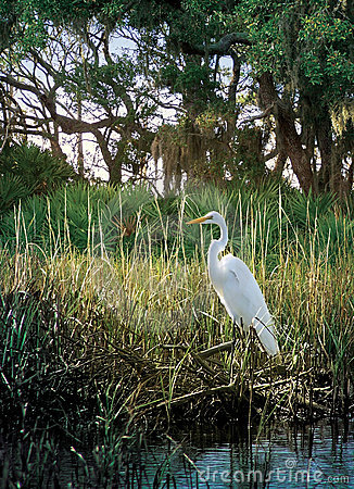 Free Marsh Egret Stock Photos - 1137853