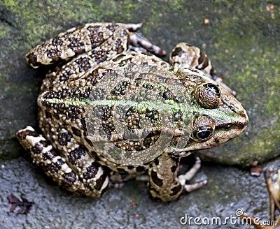 Marsh frog 1