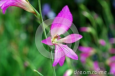 Marsh gladiolus