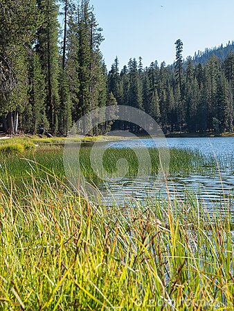 Marsh grass at forested, mountain lake