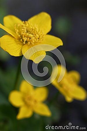 Free Marsh Marigold Royalty Free Stock Image - 1173006