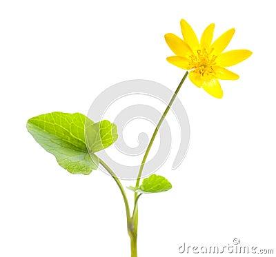 Free Marsh Marigold Stock Images - 14063744