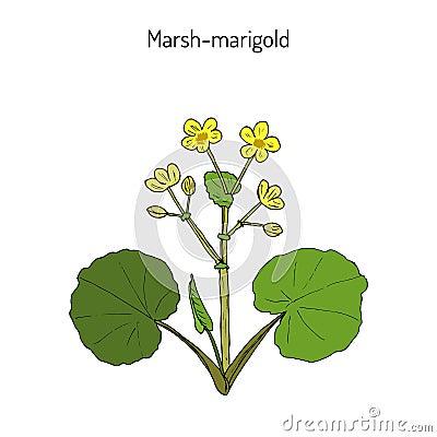 Free Marsh Marigold Or Kingcup Caltha Palustris Royalty Free Stock Images - 88780009
