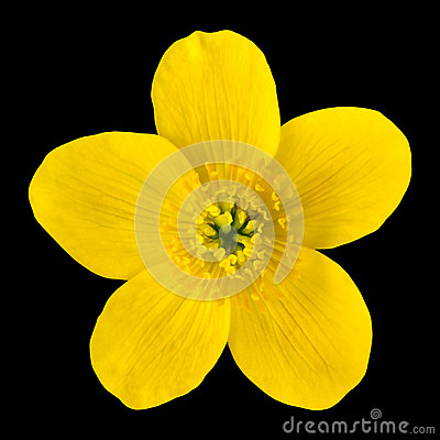 Free Marsh Marigold Yellow Flower Isolated On Black Stock Images - 24713824