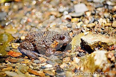 Marsh river Frog in a river full of river stones