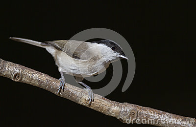 Marsh tit with Black Background