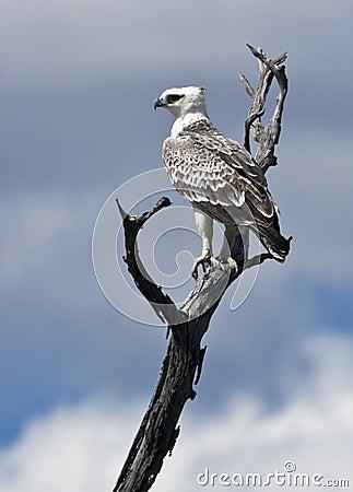 Martial Eagle - Botswana