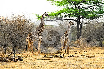 Masai giraffes in the Selous reserve