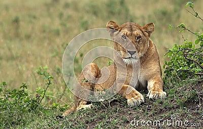 Masai-Mara Lion