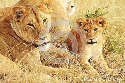 Masai Mara Lions