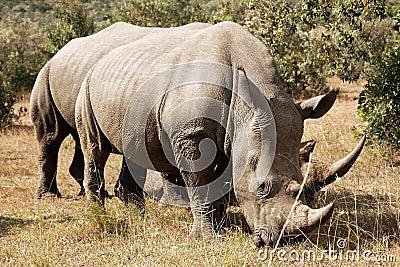 Masai Mara White Rhinoceros