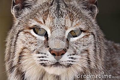 Maschio del gatto selvatico