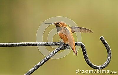 Maschio Rufous del colibrì