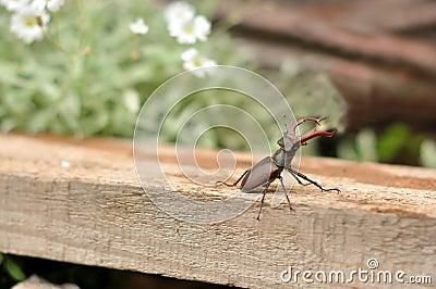 Maschio-scarabeo