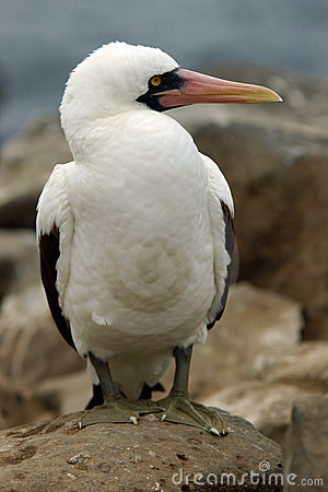 Free Masked Booby Stock Photography - 1703872