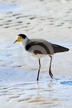Masked lapwing on beach