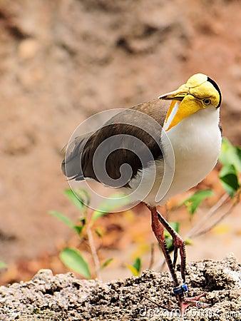 Masked Lapwing bird