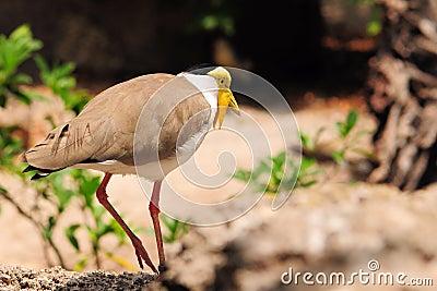 Masked Lapwing bird walking
