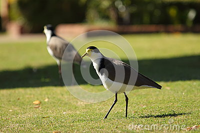 Masked Lapwing bird on lawn
