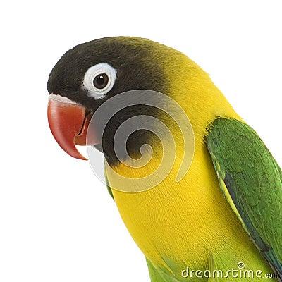 Masked Lovebird - Agapornis personata