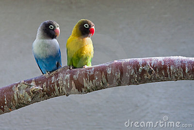 Masked Lovebirds on branch (looking right)
