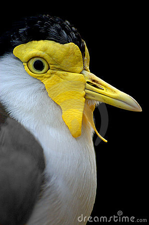 Free Masked Plover Royalty Free Stock Photography - 5670277