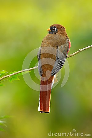 Free Masked Trogon, Trogon Personatus, Red And Brown Bird In The Nature Habitat, Bellavista, Ecuador. Bird In The Green Tropic Forest. Stock Image - 100112381