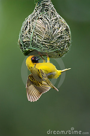 Free Masked Weaver Royalty Free Stock Images - 2433479