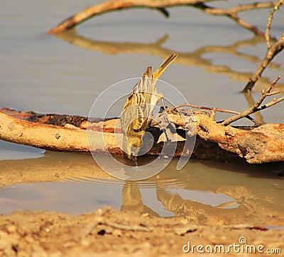 Masked Weaver - African Gamebird