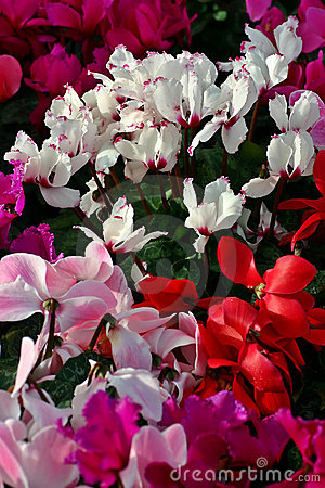 Mass Flowering Cyclamen