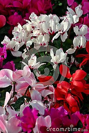 Free Mass Flowering Cyclamen Stock Photos - 979453