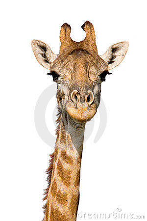 Free Massai Giraffe Stock Photo - 864740