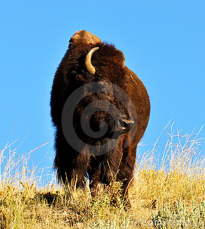 Massive American Bison standing at watch.
