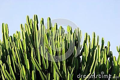 Massive cactus tree