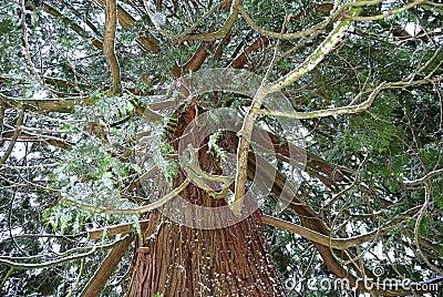 Massive Cedar Tree