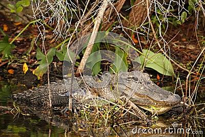 Massive Male Alligator in Everglades, Florida