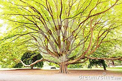 Massive tree in a park