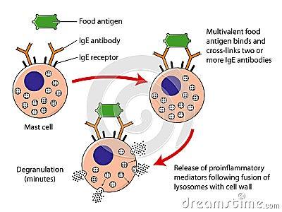 Mast cell degranulation