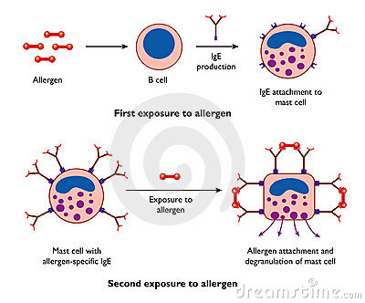 Mast cells and allergy