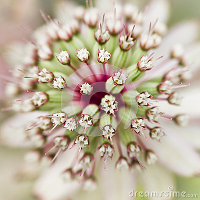 Masterwort or Astrantia flower in summer