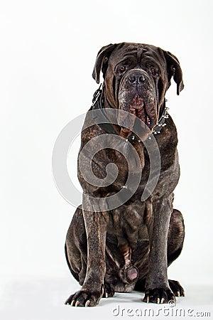 Free Mastiff Royalty Free Stock Photos - 209548