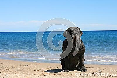 Mastiff.