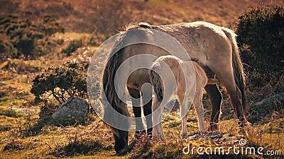 Matande föl för moderhäst i eftermiddag