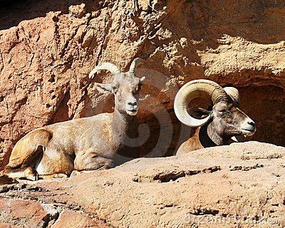A Mated Pair of Bighorn Sheep