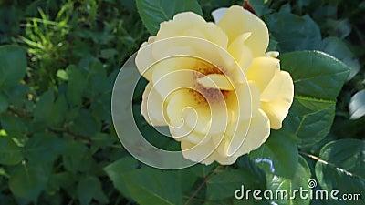 Materiał filmowy kolor żółty róża na wietrznym dniu zbiory