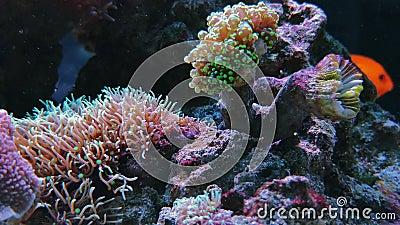 Materiału filmowego Anemonia sulcata, Beadlet anemonu aktyny zdjęcie wideo