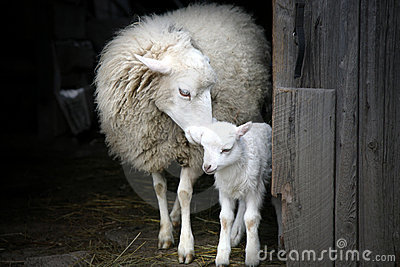 Maternal instinct. Sheep and lamb.